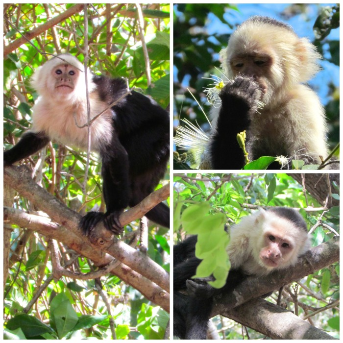white-faced capuchins, monkeys