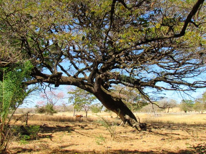 Guanacaste tree - National tree of Costa Rica