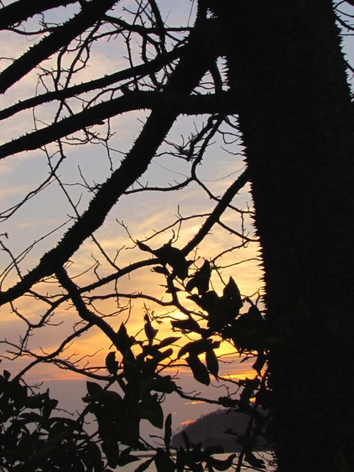 Thorny tree at sunset