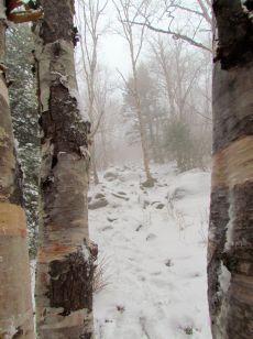 Northern Birch -- Hurricane Mountain, Adirondack, New York