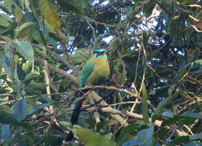 Sorry, we don't know our birds, but if anyone can let us know we'll be glad to update this photo -- update: this is the Blue-crowned Motmot