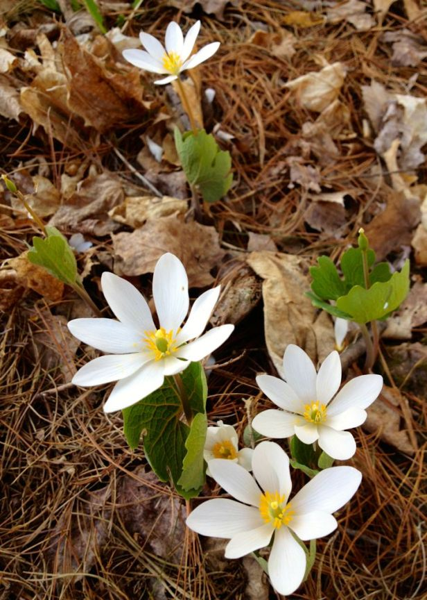 Bloodroot, Sanguinaria canadensis, spring flowers