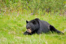 Brown Bear feeding by the roadside