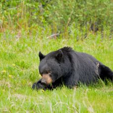 Brown Bear feeding by the roadside