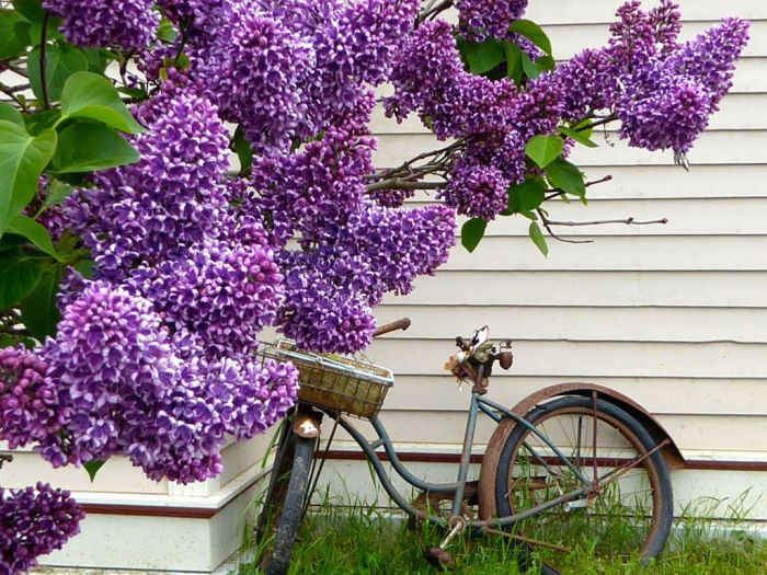 Rusted bike and Lilac. Skagway, Alaska