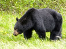 Black bear by the roadside in the Yukon