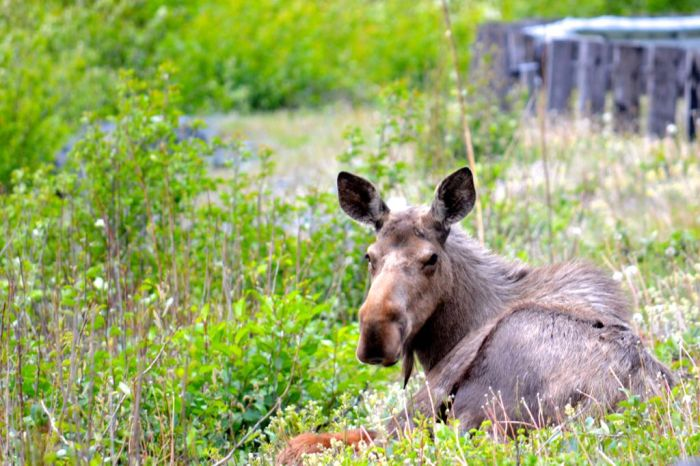 Moose by the Haines Highway