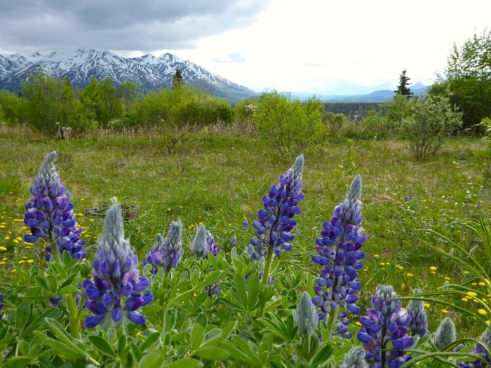 Arctic Lupine flowers by the roadside