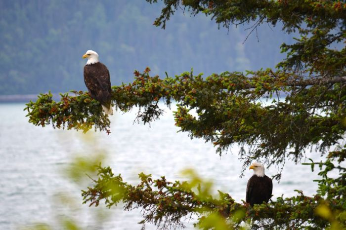 Bald-eagles in pine tree