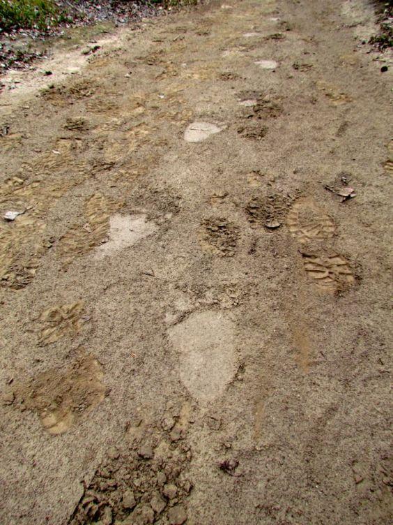Bear track on the Sheep Creek trail