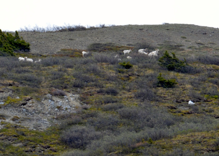 Dall Sheep on the distant mountain slope