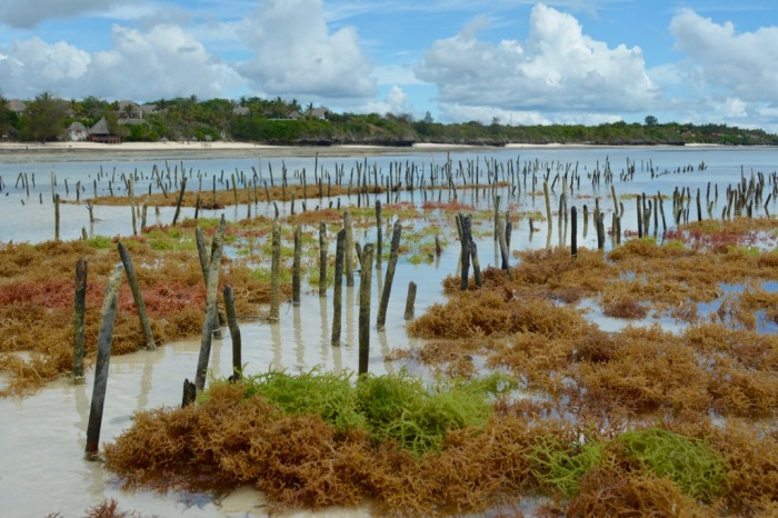 Seaweed garden at low tide